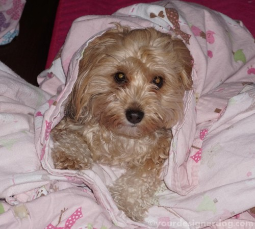 dogs, designer dogs, yorkipoo, yorkie poo, sheets, bed, sleepy puppy, chores, cleaning, mischief