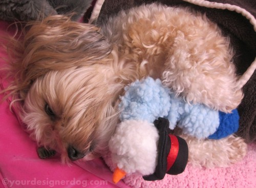 dogs, designer dogs, yorkipoo, yorkie poo, sleepy puppy, snowman, dogs at work