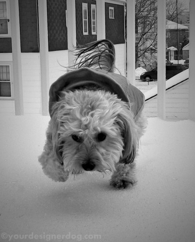 dogs, designer dogs, yorkipoo, yorkie poo, winter, snow, black and white photography