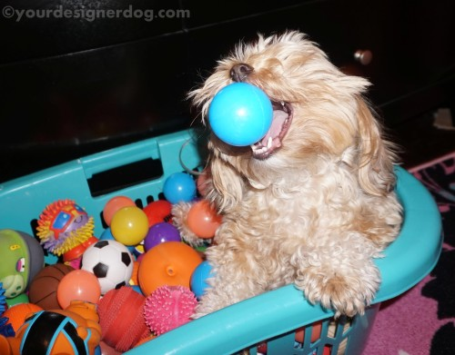 designer dogs, diy, yorkipoo, yorkie poo, catch, ball pit, dog toys