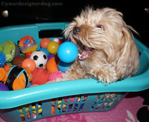 dogs, designer dogs, diy, yorkipoo, yorkie poo, catch, ball pit, dog toys