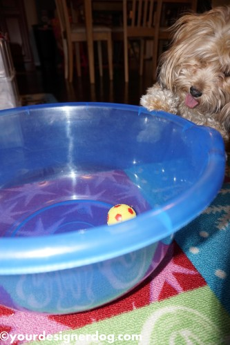 dogs, designer dogs, yorkipoo, yorkie poo, mischief, squeaky ball, dog toy, bowl