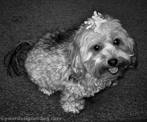 dogs, designer dogs, yorkipoo, yorkie poo, dog smiling, black and white photography, hair bow