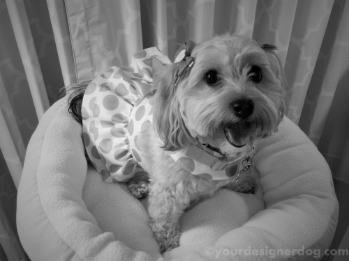 dogs, designer dogs, yorkipoo, yorkie poo, dog smiling, black and white photography, dress up