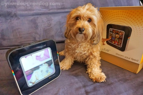 dogs, designer dogs, yorkipoo, yorkie poo, reviews, instagram, digital picture frame, gadgets, technology