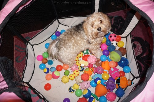 dogs, dog toys, designer dogs, yorkipoo, yorkie poo, diy, ball pit, create, #52Snapshots