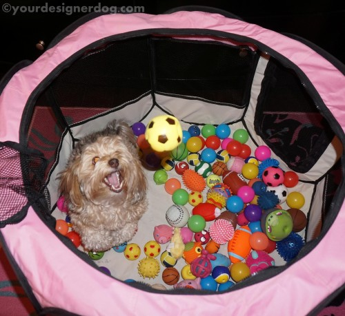 catch, dogs, dog toys, designer dogs, yorkipoo, yorkie poo, diy, ball pit, create, #52Snapshots
