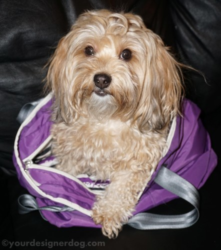 dogs, designer dogs, yorkipoo, yorkie poo, purple, tongue out, diaper bag