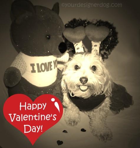 dogs, designer dogs, yorkipoo, yorkie poo, love, heart, valentine's day, love bug