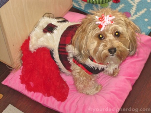 dogs, designer dogs, yorkipoo, yorkie poo, winter, dog coat, dressed up, freezing cold