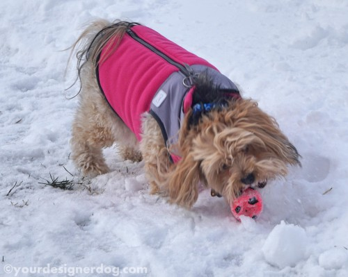 dogs, designer dogs, yorkipoo, yorkie poo, snow, winter, dog toy, squeaky ball