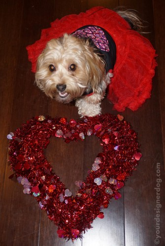 dogs, designer dogs, yorkipoo, yorkie poo, love, heart, dog smiling, valentine's day