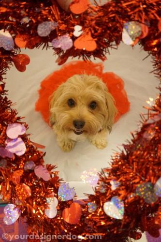 dogs, designer dogs, yorkipoo, yorkie poo, love, heart, dog smiling, valentine's day