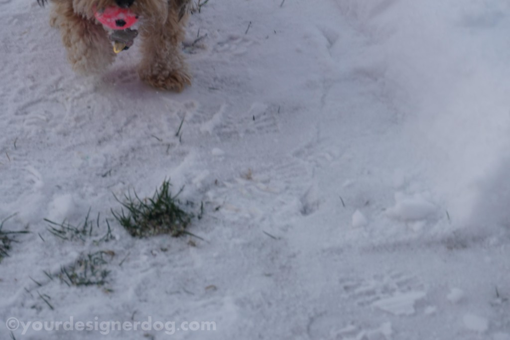 dogs, designer dogs, yorkipoo, yorkie poo, winter, snow, bloopers, outtakes
