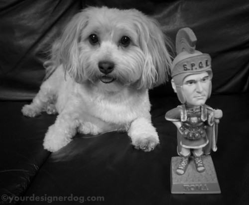 dogs, designer dogs, yorkipoo, yorkie poo, black and white photography, roman, centurion, ides of march, bobble head