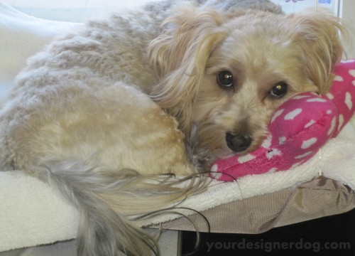 dogs, designer dogs, yorkipoo, yorkie poo, sleepy puppy, curled up