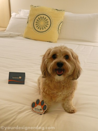 dogs, designer dogs, yorkipoo, yorkie poo, hotel, dog-friendly, hotel room, bed, dog smiling