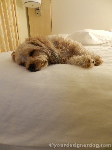 dogs, designer dogs, yorkipoo, yorkie poo, hotel, dog-friendly, hotel room, bed, sleepy puppy