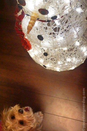 dogs, designer dogs, yorkipoo, yorkie poo, snowman, LED lights, winter, holiday decorations, dog smiling