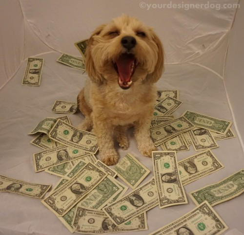 dogs, designer dogs, yorkipoo, yorkie poo, money, green, make it rain