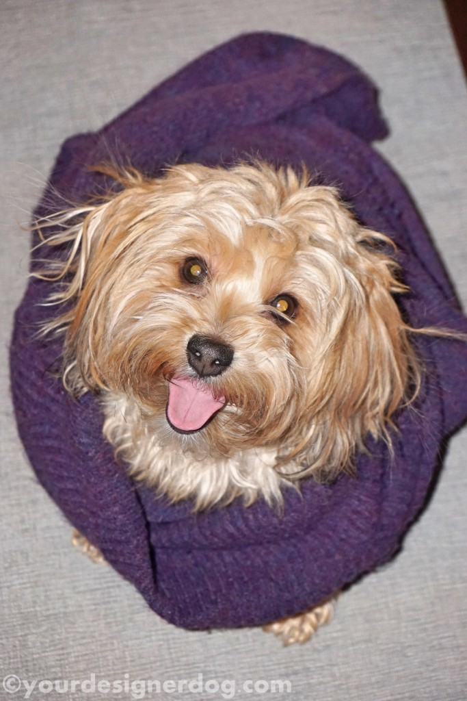 dogs, designer dogs, yorkipoo, yorkie poo, nest, dog smiling, tongue out