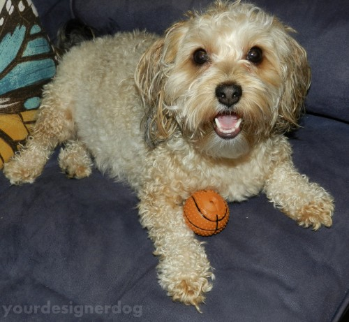 dogs, designer dogs, yorkipoo, yorkie poo, dog toy, squeaky ball, dog smiling