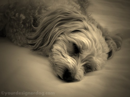 dogs, designer dogs, yorkipoo, yorkie poo, sleepy puppy, sepia photography