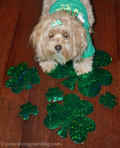dogs, designer dogs, yorkipoo, yorkie poo, green, shamrocks, clover, st patricks day