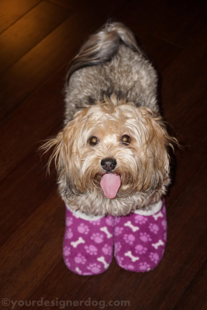 dogs, designer dogs, yorkipoo, yorkie poo, slippers, big feet