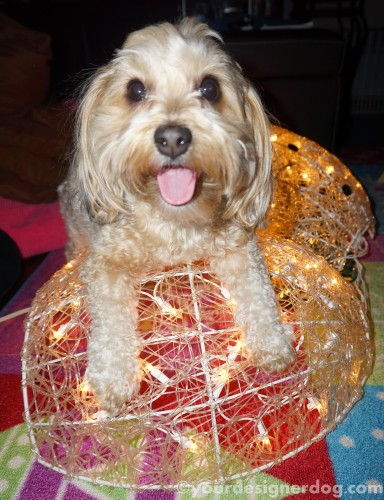 dogs, designer dogs, yorkipoo, yorkie poo, winter, snowman, decorations, tongue out