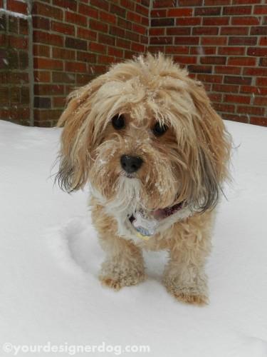 dogs, designer dogs, yorkipoo, yorkie poo, snow, winter, bricks