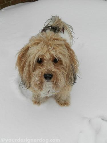 dogs, designer dogs, yorkipoo, yorkie poo, snow, winter
