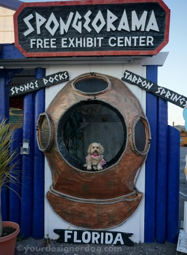 dogs, designer dogs, yorkipoo, yorkie poo, sponge diving. travel, florida, tarpon springs, diving helmet