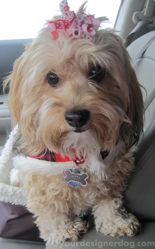dogs, designer dogs, yorkipoo, yorkie poo, waiting, errands, car seat