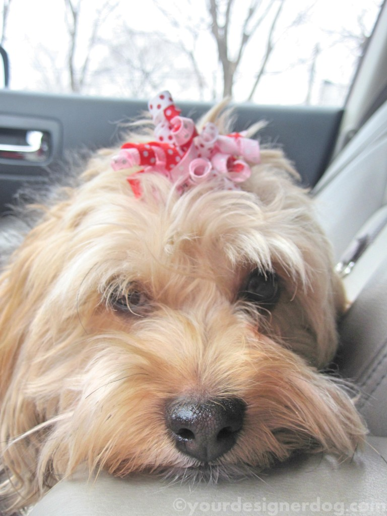 dogs, designer dogs, yorkipoo, yorkie poo, waiting, errands, car seat