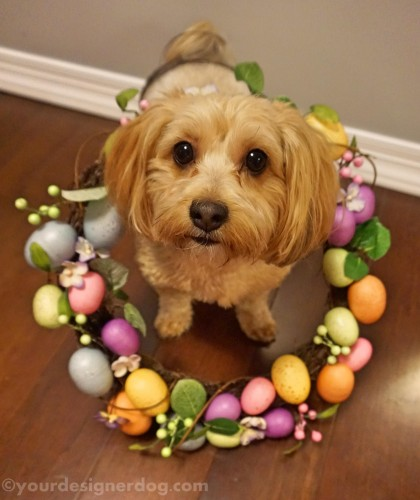 dogs, designer dogs, yorkipoo, yorkie poo, spring, wreath, birds nest