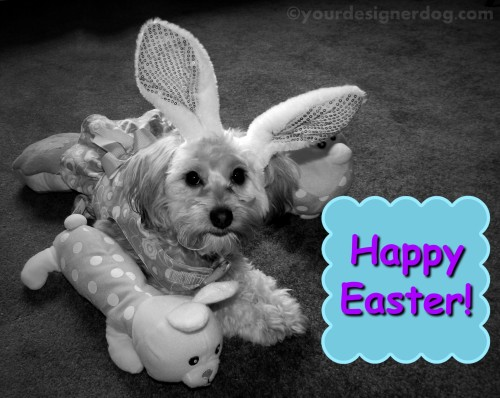 dogs, designer dogs, yorkipoo, yorkie poo, black and white photography, easter, bunny