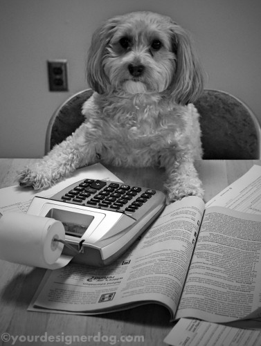 dogs, designer dogs, yorkipoo, yorkie poo, black and white photography, taxes, homework