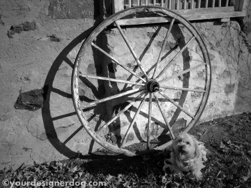dogs, designer dogs, yorkipoo, yorkie poo, black and white photography, wagon wheel