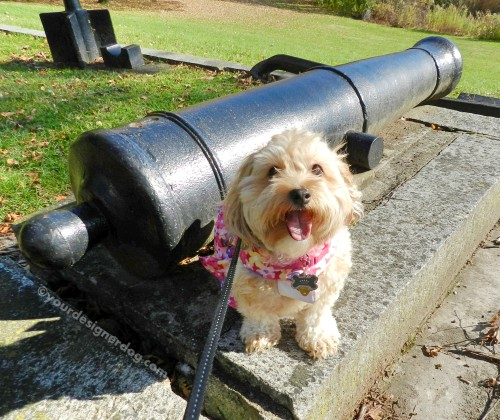 dogs, designer dogs, yorkipoo, yorkie poo, canon, gun, firepower
