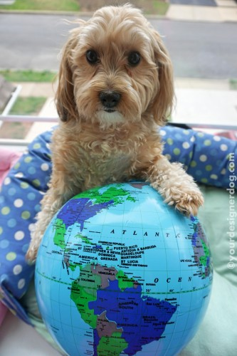dogs, designer dogs, yorkipoo, yorkie poo, earth, globe, environment, planet