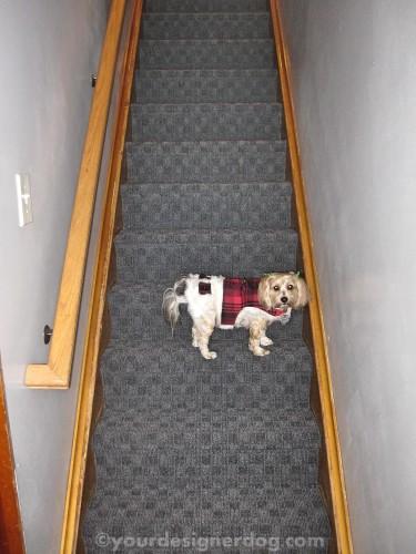 dogs, designer dogs, yorkipoo, yorkie poo, stairs, carpet