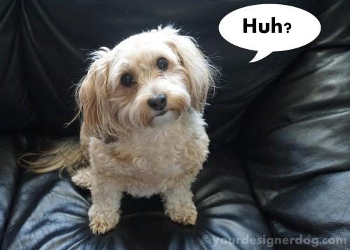 dogs, designer dogs, yorkipoo, yorkie poo, quizzical, head tilt