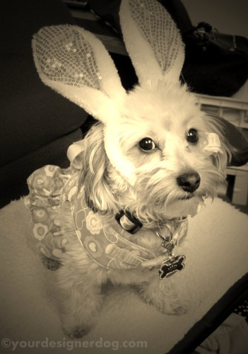 dogs, designer dogs, yorkipoo, yorkie poo, sepia photography, easter, bunny ears, easter bunny, rabbit, dog costume