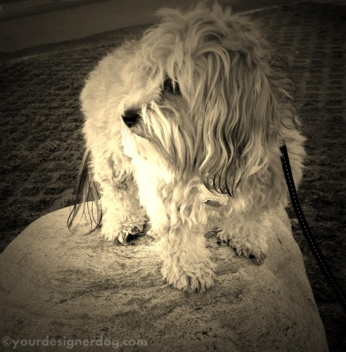 dogs, designer dogs, yorkipoo, yorkie poo, perching, sepia photography