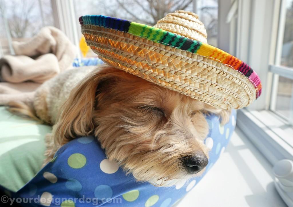 dogs, designer dogs, sombrero, sleepy puppy, siesta, cinco de mayo, mexican