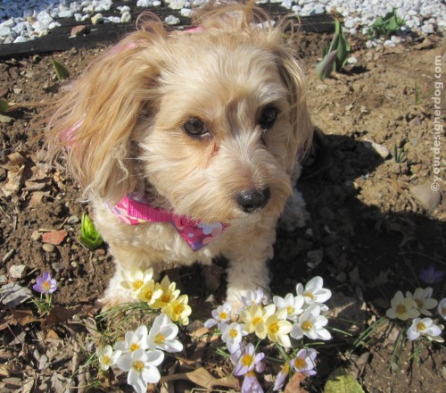 dogs, designer dogs, yorkipoo, yorkie poo, dogs with flowers, spring, crocus