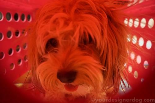 dogs, designer dogs, yorkipoo, yorkie poo, mischief, spy cam, laundry basket