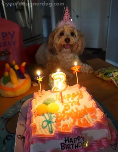 dogs, designer dogs, yorkipoo, yorkie poo, birthday