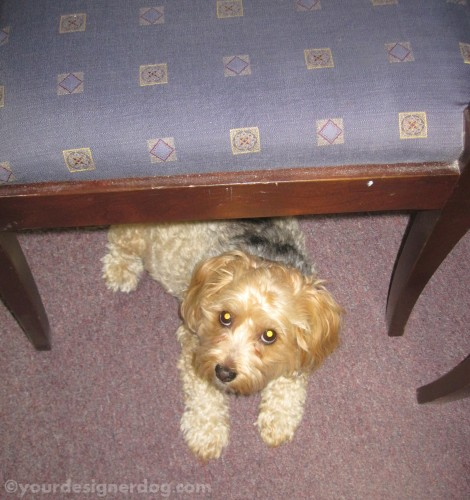 dogs, designer dogs, yorkipoo, yorkie poo, below, chair, dogs at work